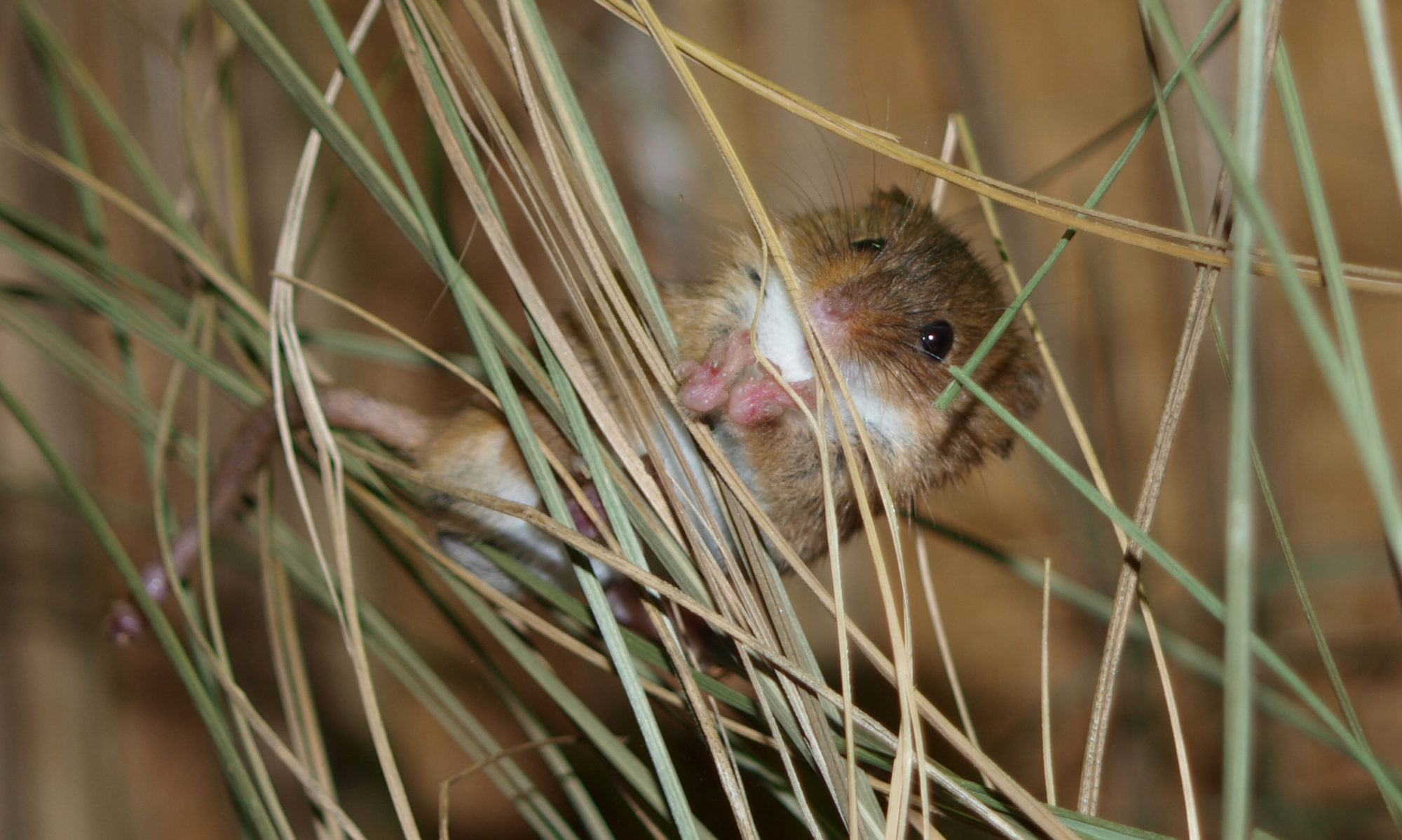 Harvestmice Network